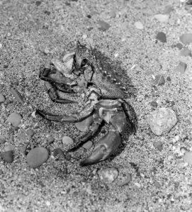 Crab crop 2421